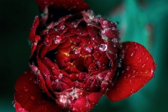 Weather Gallery - Flower in the Rain